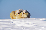 Polar Bear Mother and Cubs; Wapusk National Park, Manitoba, Canada