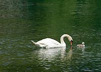 CHE, SCHWEIZ, Kanton Bern, Berner Oberland, Interlaken: Hoeckerschwan (Cygnus olor) mit einem Jungen auf der Aare | CHE, Switzerland, Bern Canton, Bernese Oberland, Interlaken: mute swan (Cygnus olor) with chick on river Aare