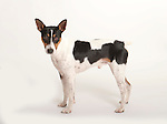 American Rat Terriers (US Import with docked tails), Standing, Studio, White Background