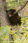 A black bear cub sits and rests in a tree in Grand Teton National Park.