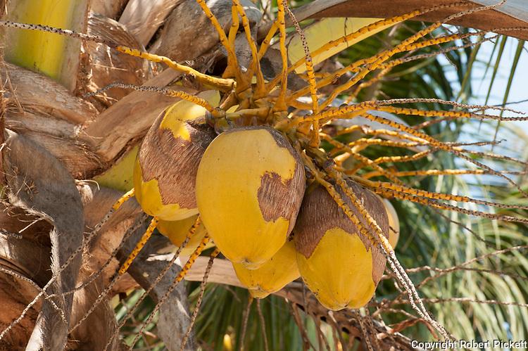 Coconut Palm Fruit in tree, Ifaty, Madagascar