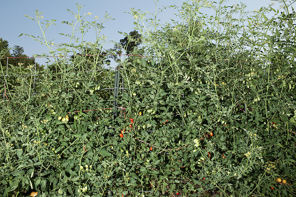 July 29, 2011. Cary, NC.. A few of the tomato plants at the SAS onsite farm, which provides many of the fresh vegetables for the cafeterias on the company's campus.. Profile of SAS, a software company that has many amenities for its employees.