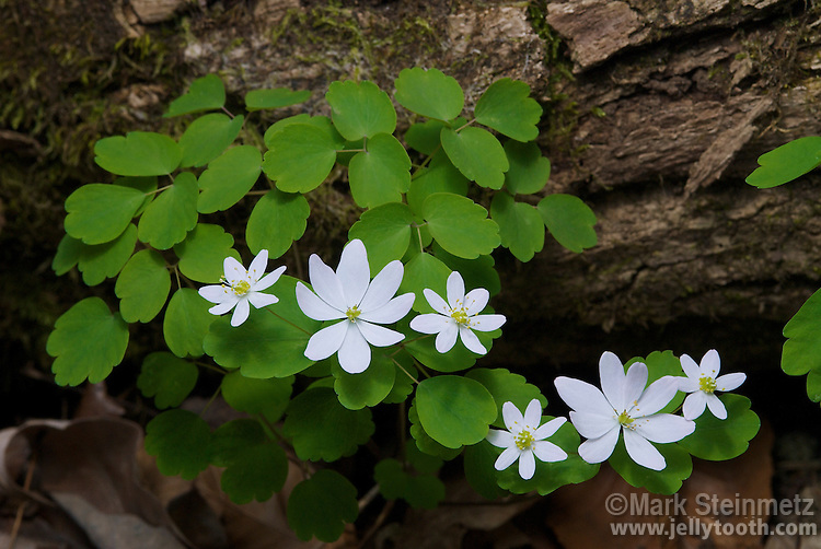 Rue Anemone (Thalictrum thalictroides), a woodland wildflower native to the forest of eastern North America. The white to pinkish flowers are composed of showy petal-like sepals. Highland County, Ohio, USA.