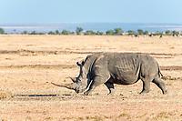 Black Rhinoceros (Diceros bicornis), Ol Pejeta Reserve, Kenya, Africa