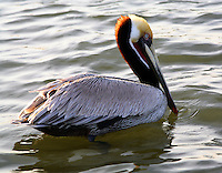 Adult, Pacific-form, brown pelican in breeding plumage on water