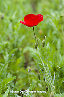 63821-22906 Red Poppy (Papaver rhoeas 'Legion of Honor'), Cantigny Park, Wheaton, IL