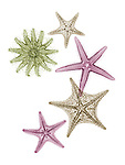 X-ray image of prickly sea stars (warm colors on white) by Jim Wehtje, specialist in x-ray art and design images.