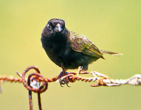 Adult male black-faced grassquit
