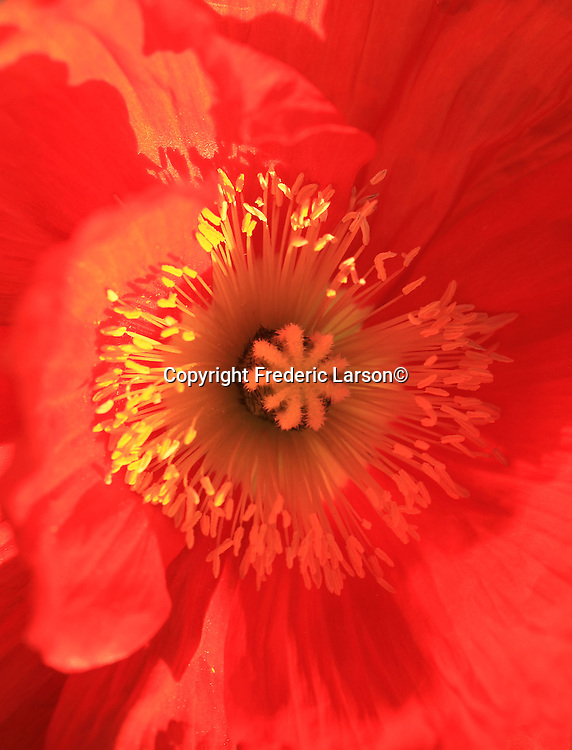 Flower poppies along the road side of Napa Valley California.