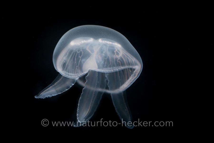Ohrenqualle, Ohren-Qualle, Qualle, Quallen, Aurelia aurita, moon jelly, moon jellyfish, common jellyfish, saucer jelly