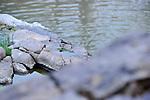 Grey Wagtail, Ranthambhore National Park; Rajasthan