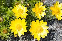 Frühlings-Adonisröschen, Frühlingsadonisröschen, Adonisröschen, Frühlings-Adonis, Adonis vernalis, pheasant's eye, spring pheasant's eye, yellow pheasant's eye, false hellebore, spring adonis