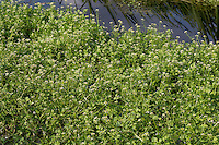 Kleinblättrige Brunnenkresse, Braune Brunnenkresse, Einreihige Brunnenkresse, Nasturtium microphyllum, watercress, One-rowed Watercress, Onerow Yellowcress, Cresson à petites feuilles
