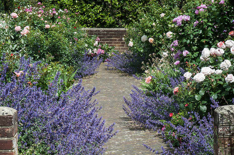 The rose garden at Borde Hill, Sussex, late June. Plants include: Rosa The Countryman and Nepeta 'Six Hills Giant'.