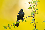 Male red-winged blackbird perched on a speckled alder in northern Wisconsin.