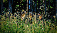 Three mule deer does, the sun reflecting in their eyes, stare off in the distance perhaps at some perceived threat.