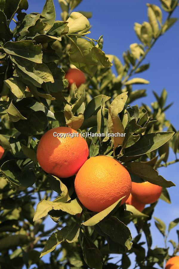 Israel, Shephelah region. Orange grove by route 353 .