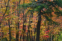 Mixed forest in autumn typical of the southern Canadian Shield includes balsam fir, sugar maples and yellow birch trees. Algonquin Provincial Park, northern Ontario, Canada.