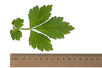 Nelkenwurz, Echte Nelkenwurz, Gemeine Nelkenwurz, Geum urbanum, wood avens, herb Bennet, colewort, St. Benedict's herb, root, roots, La benoîte commune, benoite commune. Blatt, Blätter, leaf, leaves