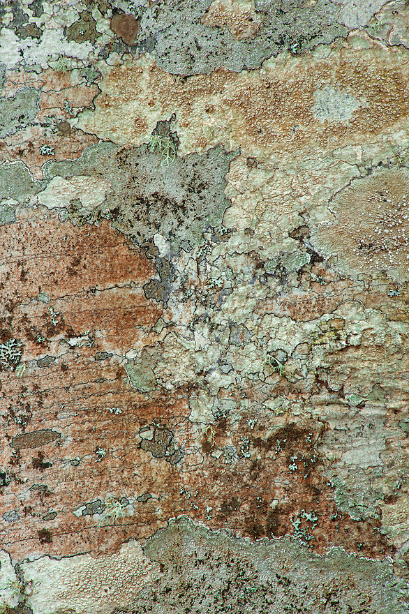 Common beech (Fagus sylvatica) bark detail with lichens, Basilicata/Calabria, Pollino National Park, Italy. November 2008. Mission: Pollino National Park