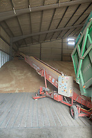 Spring Wheat going into a grain store on farm<br /> Picture Tim Scrivener 07850 303986<br /> &hellip;.covering agriculture in the UK&hellip;.