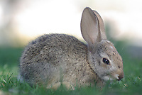 A wild young Desert Cottontail likes the grass.