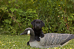 Black Labrador retriever and goose decoy