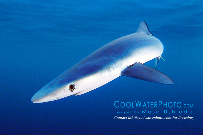 blue shark pup, .Prionace glauca, .San Diego, California (E. Pacific)