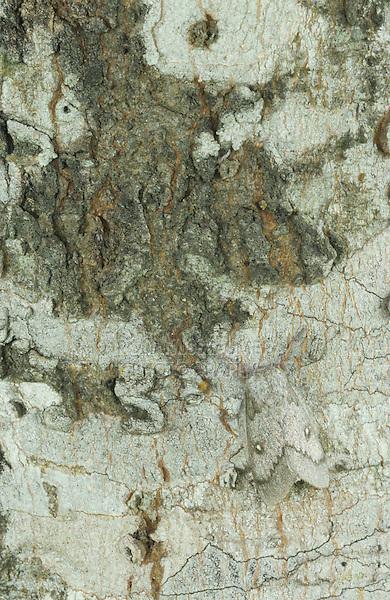 Moth, adult on tree bark, Lake Corpus Christi, Texas, USA, May 2003