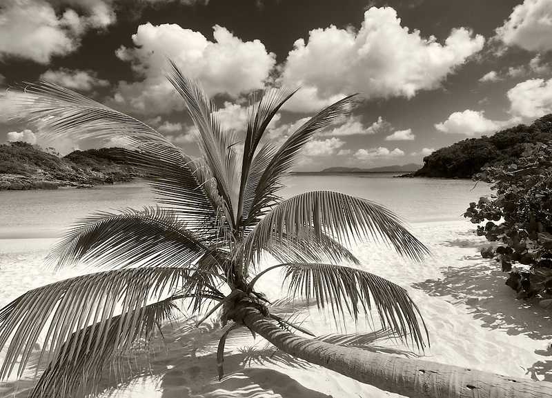 Palm tree growing horizontal at Trunk Bay. Virgin Islands National Park. St. John.