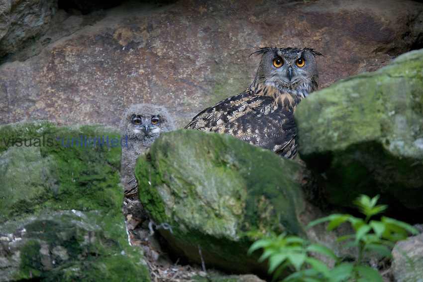 captive, national park bavarian forest, germany, Nationalpark Bayerischer Wald, Deutschland.