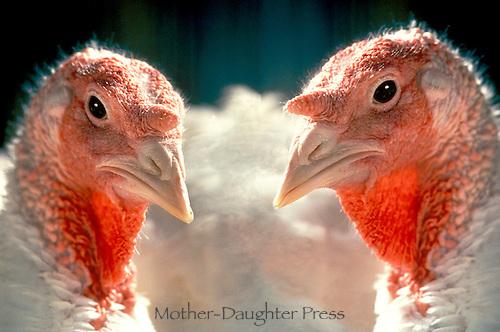 Two Nicholas domestic turkeys close up, Vermont USA