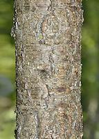 Dwarf Cherry - Prunus cerasus