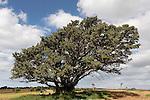 Sycamore tree in Ga'ash, Sharon region, Israel<br />