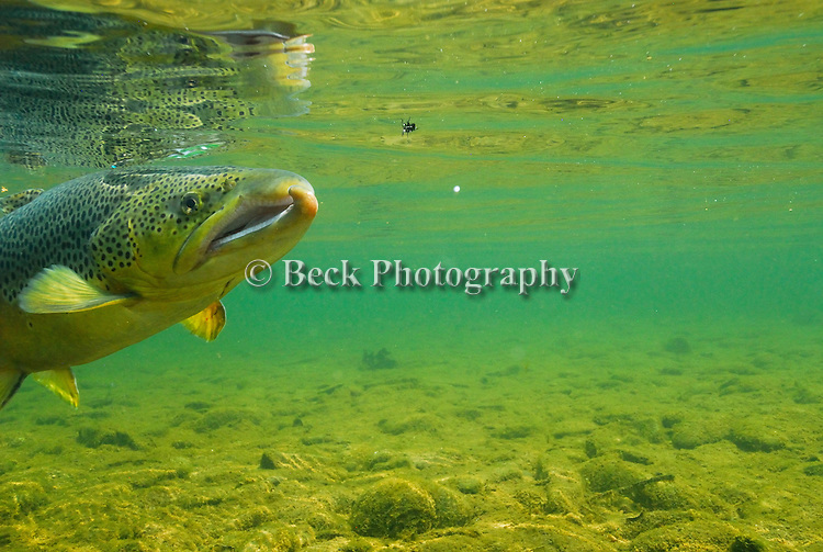 Underwater brown  trout rising to surface