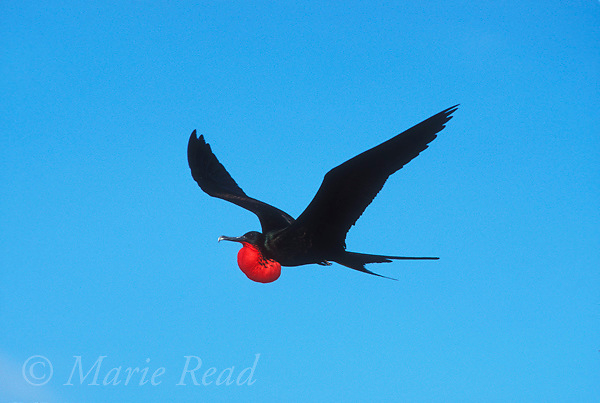 Great Frigatebird (Fregata minor) male, in flight with inflated gular pouch, Genovesa (=Tower) Island, Galapagos Islands, Ecuador<br /> Slide # B16-02.