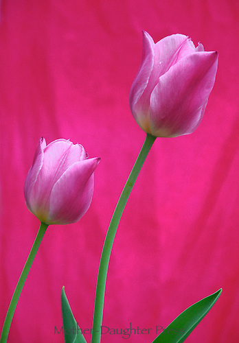 Two pink tulips in spring, Vermont, USA