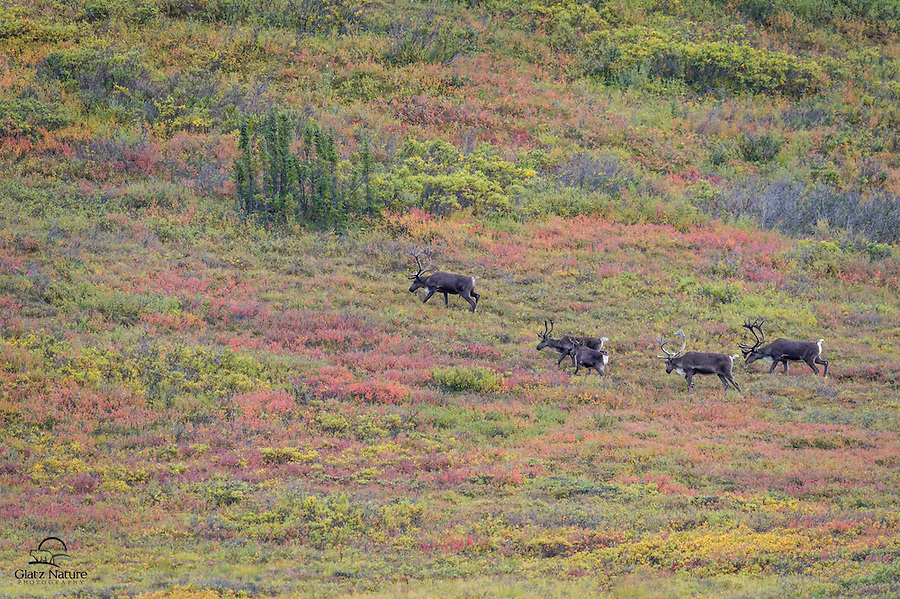 Bull Caribou (Rangifer tarandus), with antlers in velvet, form a line as they feed in the fall-colored tundra of Denali National Park, Alaska.  Caribou often move through an area in a straight line, so it's possible to get out ahead of them and wait for them to strike a photogenic pose or enter a scenic area.