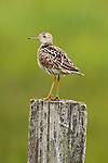 Upland Sandpiper, North Dakota.