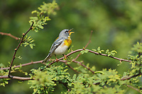 Northern Parula (Parula americana), adult male singing, South Padre Island, Texas, USA