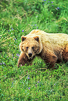 Grizzly bear stands on the green summer tundra in Denali National Park, Alaska