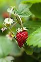 Alpine or woodland strawberry (fraise des bois).