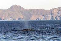 Adult Bryde's Whale, Balaenoptera edeni, surfacing in the upper Gulf of California, Sea of Cortez, Mexico, Pacific Ocean Note the three rostral ridges, a field diagnostic in this species.