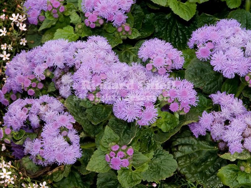 Flossflower, Ageratum Blue Marine