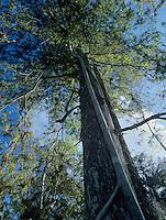 Cypress tree with strangler fig, Corkscrew Swamp Sanctuary, Florida, December 1998