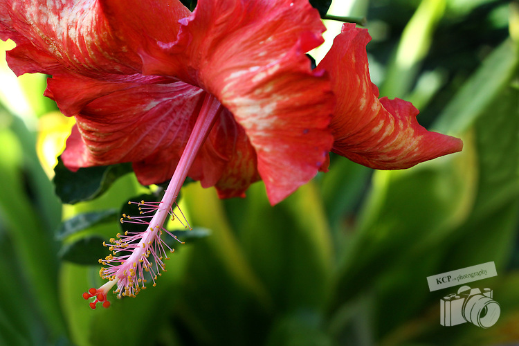 The most beautiful and extravagant tropical flora found on the south shore of the Hawaiian Island of Kauai.