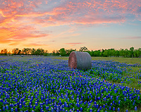 Texas Bluebonnets with Haybales at Sunset - Texas Landscape Canvas or Prints - We were lucky to capture this wonderful sunset over this field of Texas bluebonnets and indian paintbrush with these haybales with these wonderful sun set colors of orange, and pinks sky in this rural wildflower landscape.  We came across them accidently driving the back roads and with we were allowed to come on to the property and photograph them for several days. These were the fullest field of bluebonnets we found this year.