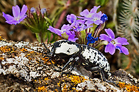 320160007 a wild controlled ironclad beetle zopherus nodulosus crawls along a lichen covered branch in the hill country of central texas