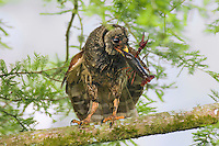 Barred Owl feeding on crayfish (crawfish) it has caught.  Southern U.S., LA.