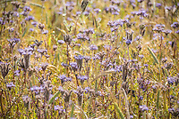 Phacelia in a field, Cambridgeshire.